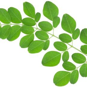 Marungga, Pohon Ajaib untuk Memberantas KekuranganGizi